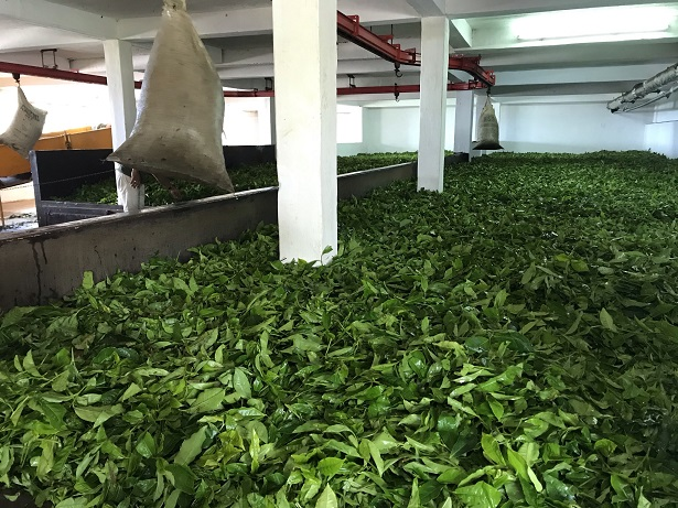 The freshly-picked tea arriving at the Bois Cheri factory