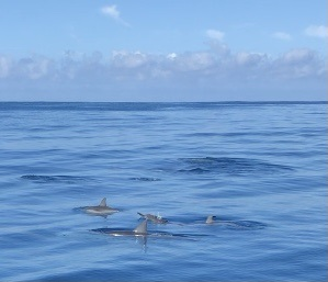 wild dolphins Mauritius